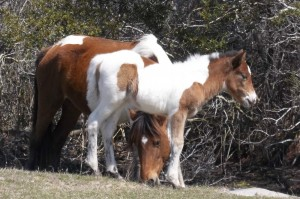 NEW FOR THURSDAY: Assateague's 'Name That Foal' Auction Sets Record