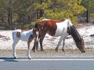 Assateague Welcomes New Filly