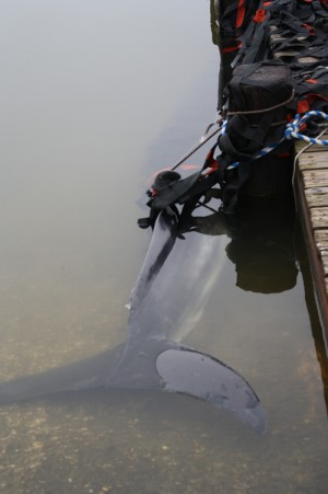 Minke Whale Found In Watershed Creek