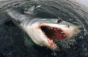 Record Number of Boats, Big Threshers Highlight OC Shark Tourney