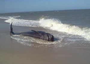 NEW FOR WEDNESDAY: Whale Came Ashore Twice On Assateague, Then Again On Jersey Beach