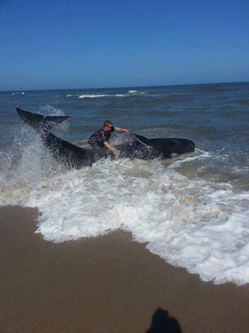 06/06/2013 | Pilot Whale Came Ashore Twice On Assateague