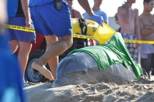 Virus Likely To Blame For Massive Dolphin Deaths On Coast; Dead Dolphin Found Today On 49th Street; Sick Dolphin Beached Itself Yesterday