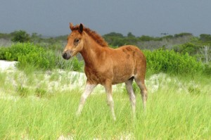 Assateague Pony Naming Auction Raises $3K