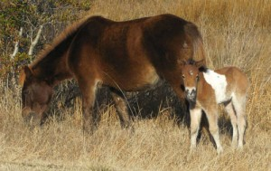 Assateague Island Welcomes Surprise Foal