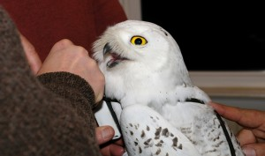 'Irruption Year' Brings Snowy Owls To Region; Scientists To Track Migration