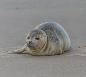 Seals Beginning To Show Up On Ocean City, Assateague Beaches