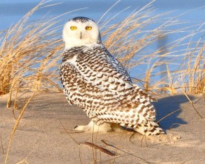 Snowy Owl Winter Irruption Not Expected To End Soon