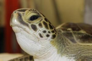 Stunned Turtle Rescued In Ocean City Eyes Release