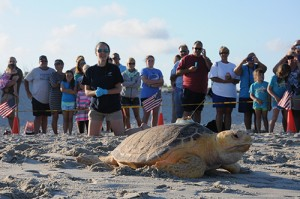 Four Loggerhead Turtles Released From Assateague After Rehabilitation