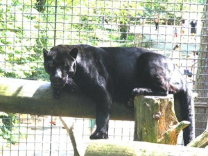 Salisbury Zoo's Jaguar Euthanized