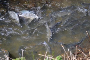 Spawning Shad Attract Onlookers Near Ocean Pines Pond