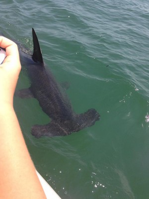 Multiple Shark Sightings Create 'An Unusual Week In Ocean City'