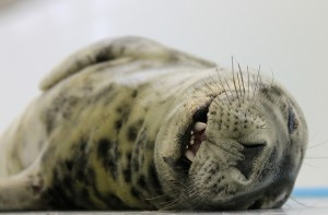 Next Week's Seal Release Marks A Milestone For Aquarium Program