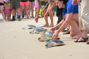 Seven Rehabilitated Turtles Released On Assateague