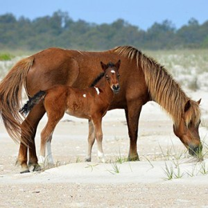 Birth Control Approach Tweaked With Recent Horse Deaths