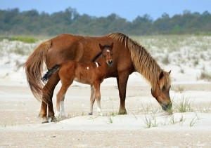 Birth Control Approach On Assateague Tweaked With Recent Horse Deaths
