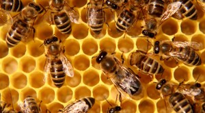 State Legislature Approves Ban On Potent Bee Killing Pesticides