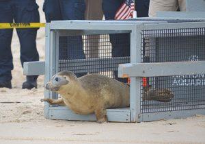 Juvenile Seal Returned To Ocean After Rehab Stint