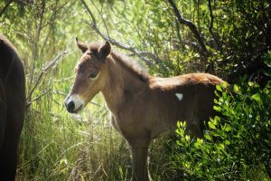 Colt Born Monday On Assateague Island; Fourth Foal of 2016 'Expected Soon'