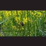 A bumble bee is pictured on some overgrown vegetation along a Maryland roadway recently. Submitted Photos