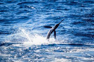 Hot White Marlin Bite Off Ocean City Coast 'A Fisherman's Dream'