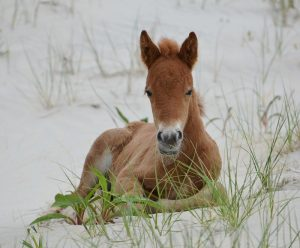 Assateague Island Suspends Contraception Program With Hopes To Boost Horse Population
