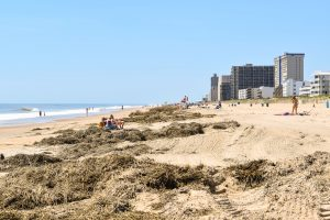 Ocean City Waiting To Truck Away Suspected Phragmites From Beach