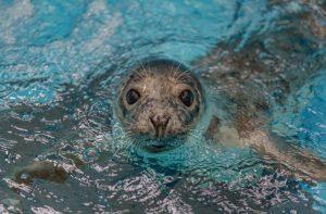 Rescued Seal On Mend At Aquarium