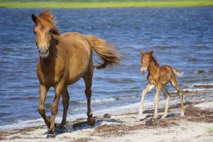 Assateague Horse's Death Linked To Dog Food Ingestion