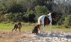 Incident Renews Importance Of Following Assateague Island's Pet Laws