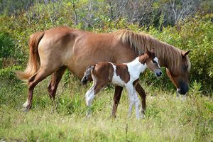 Assateague Welcomes Pinto Colt