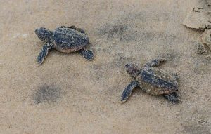 Turtle Hatchlings Called 'Extremely Rare Event' In Fenwick