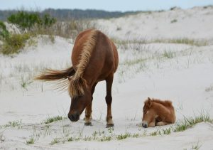 Assateague's Fed Side Remains Accessible But Without Visitor Services