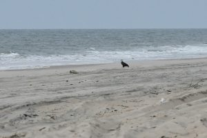 Seal Saved From Bald Eagle On Assateague Island Died In Rehab