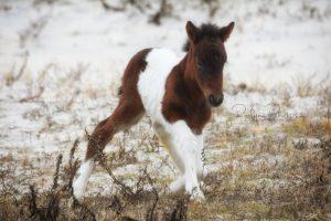 Surprise Winter Foal Born On Assateague