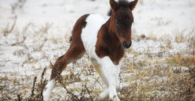 Surprise Winter Foal Born On Assateague