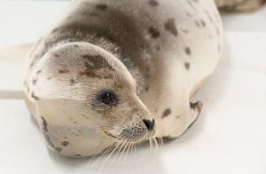 Harp Seal Rescued In OC Recovering At Aquarium