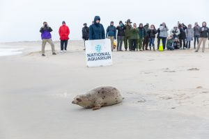 After Rehab Stint, Harp Seal Released On Assateague