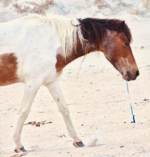 Assateague Horse Incident Highlights Balloon Dangers