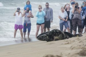 Two Rehabbed Seals Released In OC