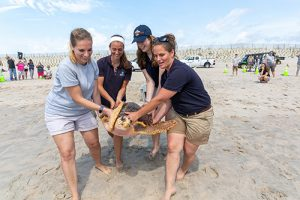 Four Rehabbed Sea Turtles Released From Assateague