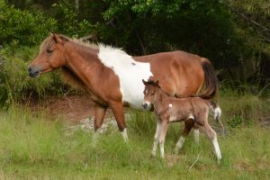 Year's Third New Foal Born On Assateague