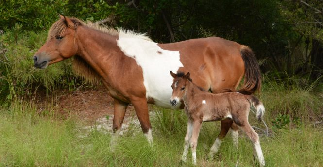Year's Third New Foal Born On Assateague