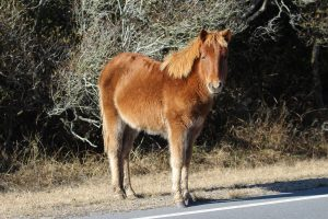 Young Assateague Horse Killed By Park Vehicle