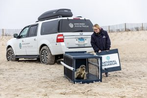 Rescued Seal Set Free On Assateague