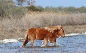 Assateague Island Welcomes Foal