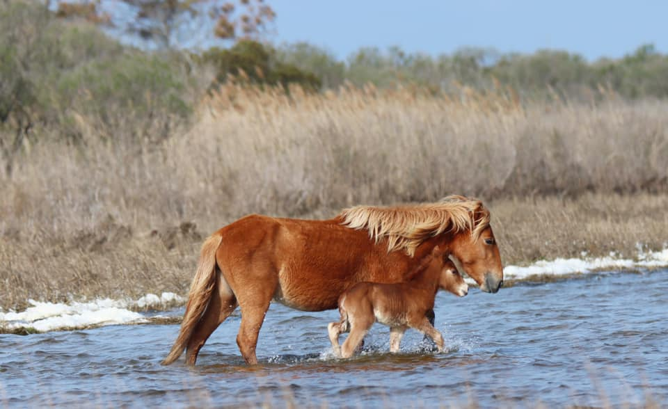 Assateague Island Welcomes Foal