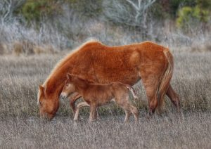 At Least Seven More Foals Expected On Assateague This Year