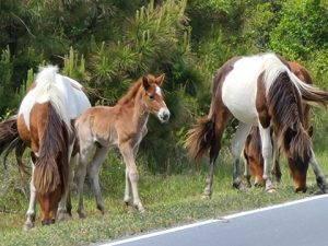 Year's Sixth Foal Born Last Weekend On Assateague Island
